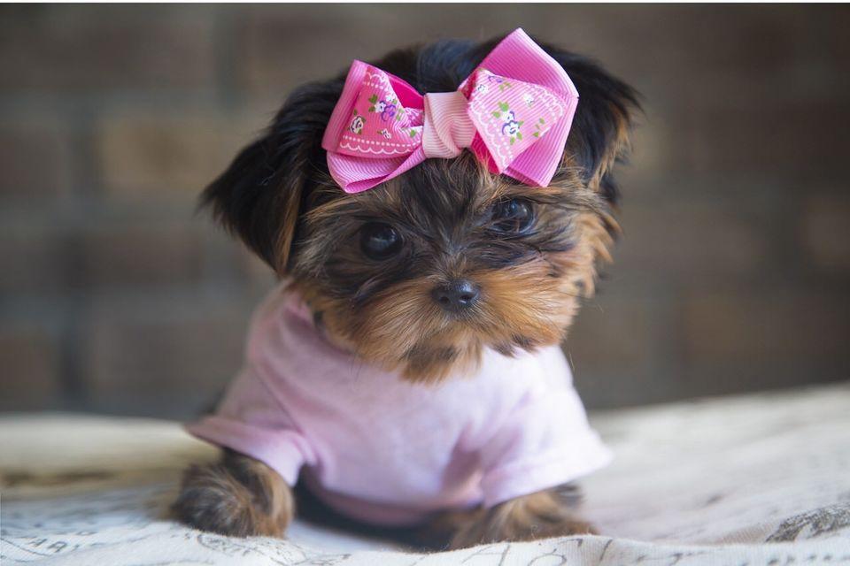 Dos cachorros adorqable yorkie para adopción gratuita.