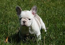 Filhote de Bulldog Francês de Natal para adoção