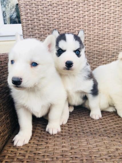 Sólo 2 negro y blanco husky siberiano