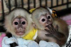 lindos monos capuchinos bebé
