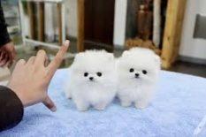 Adorable Yorkie Terrier cachorros en adopción