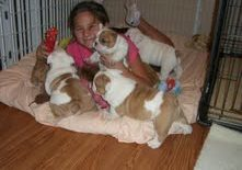 Lindos cachorros de bulldog inglés para adopción